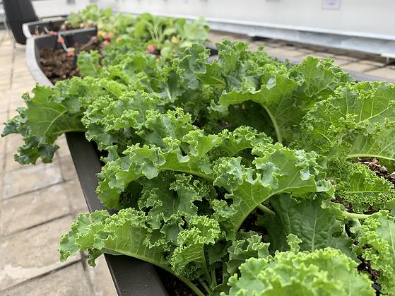 Kale at Sino.HEIC