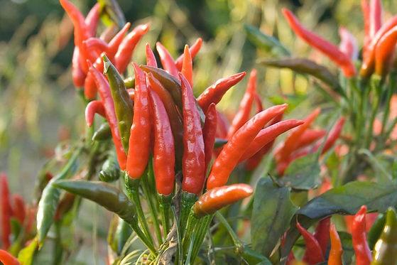 yatzy-yatsufusa-cayenne-hot-pepper-peppe