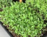 coriander_800x.jpg