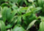 檸檬馬鞭草文章照片01.jpg