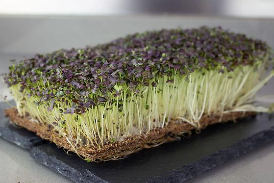 Organic-Mizuna-Microgreens-Powergreenz.j