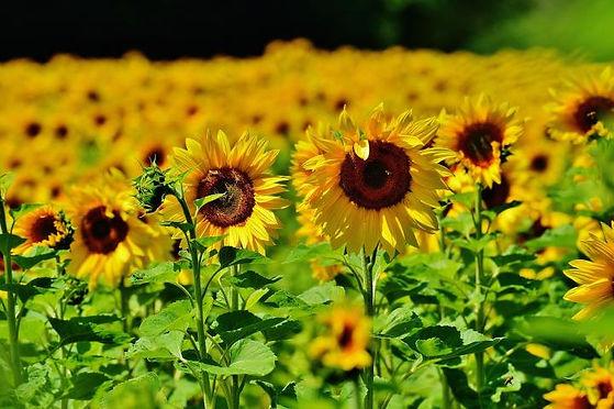 sunflower-1533697_1920_0_full_width.jpg