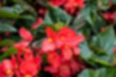 annual-begonia.jpg