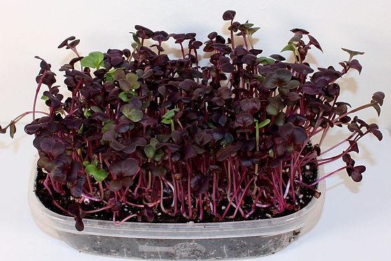 purple-rambo-radish-microgreens-1000x667