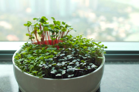 microgreens ceramic pot