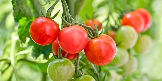 close-up-of-cherry-tomatoes-growing-in-a