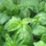 italian_large_leaf_basil_herb_plant_1799