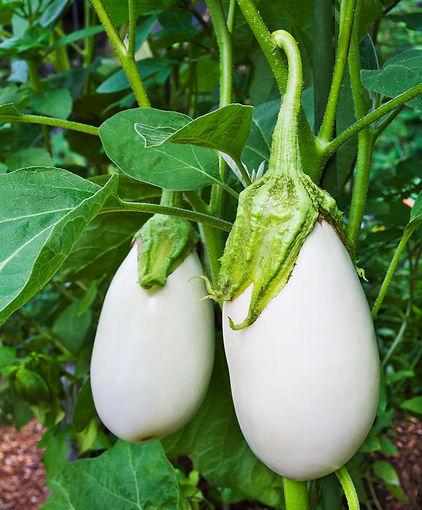 white-eggplant.jpg