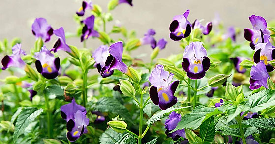 Grow-Torenia-for-a-Bright-Spot-in-the-Sh
