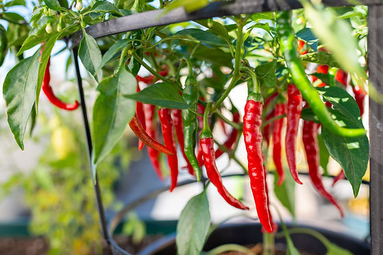 choosing-and-growing-hot-peppers-1403380