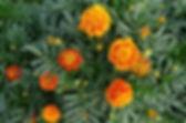 french-marigolds-2.jpg