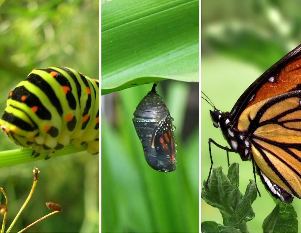 butterfly-catapillar.jpg