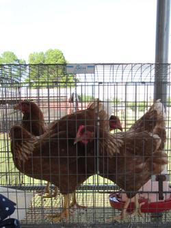 p. 8 - chickens adjusted