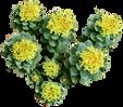 rhodiola-rosea.png