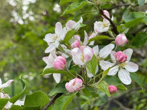 Apfelblüte: Die schönste Zeit im Garten