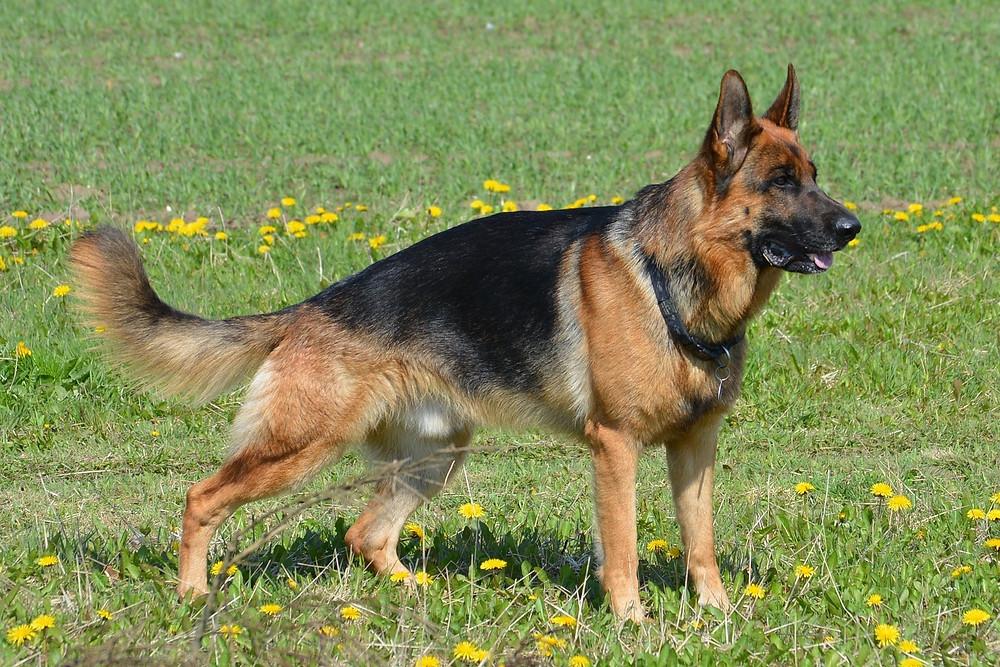 Rassenkunde von Julie & Bonnie - Deutscher Schäferhund der Showlinie