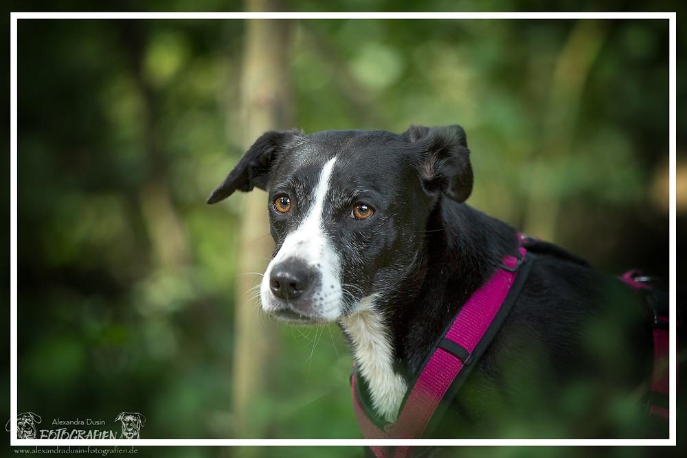 ängstlicher Hund (Bonnie), fotografiert von Alexandra Dusin Fotografien