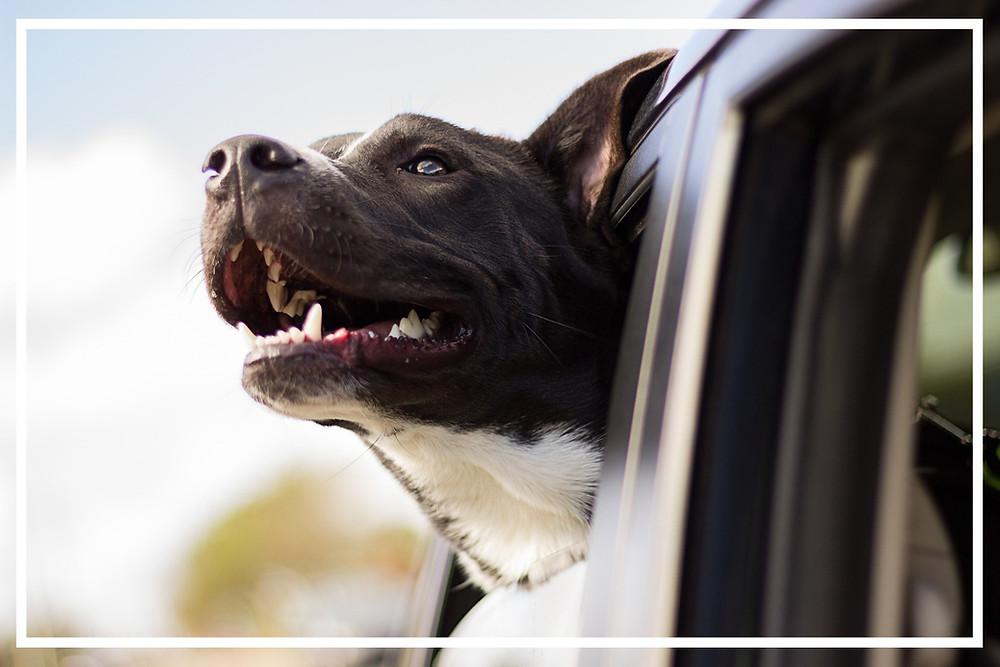 Hund im Auto I