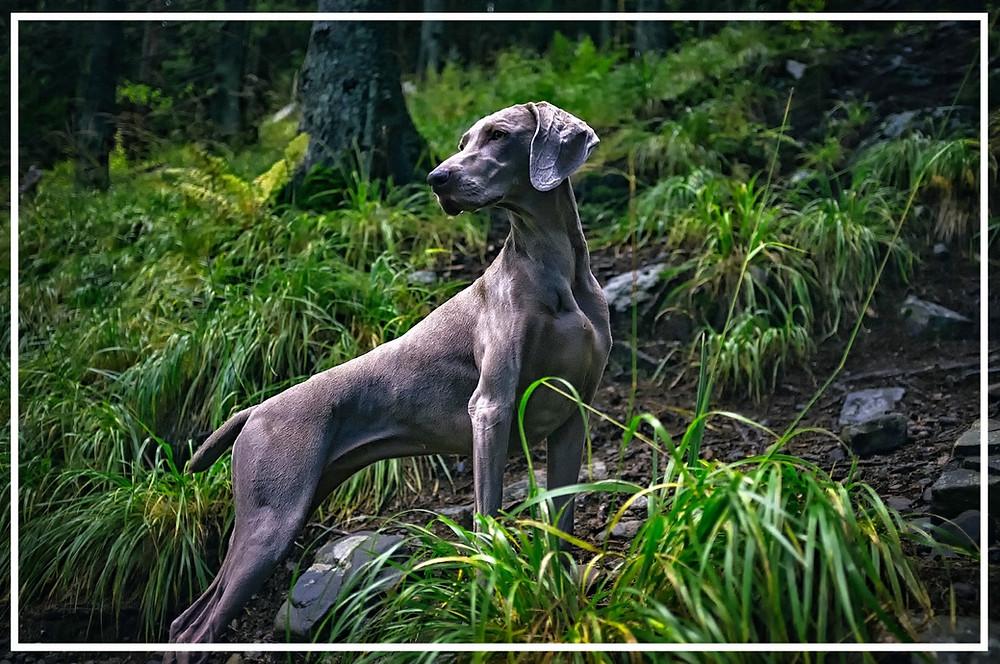 Wamaraner - Jagdhunde-Überblick