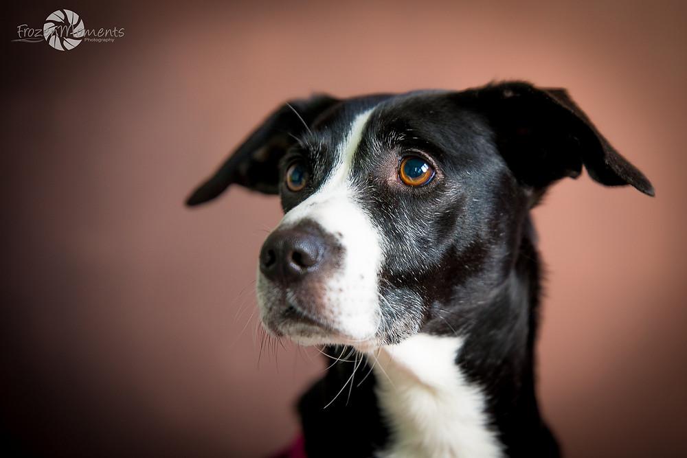 Angsthund Bonnie, fotografiert von FrozenMoments Photography