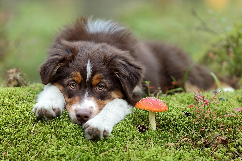 Trichophytie, Mikrosporie_Infektionskrankheiten bei Hunden