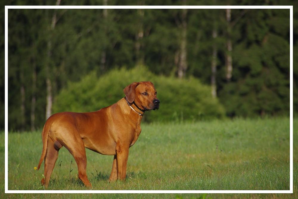 Rhodesian Ridgeback - Jagdhunde-Überblick