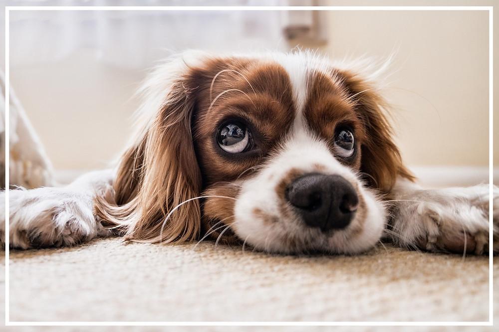 Die Schilddrüse bei Hunden