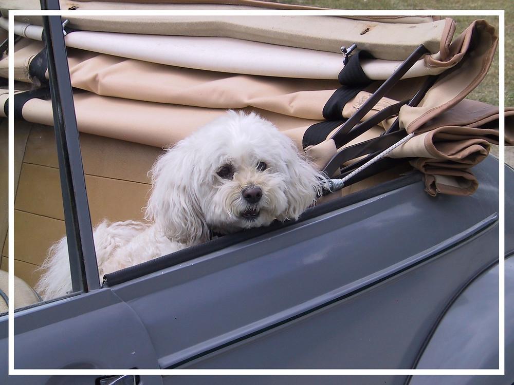 Hund im Auto II