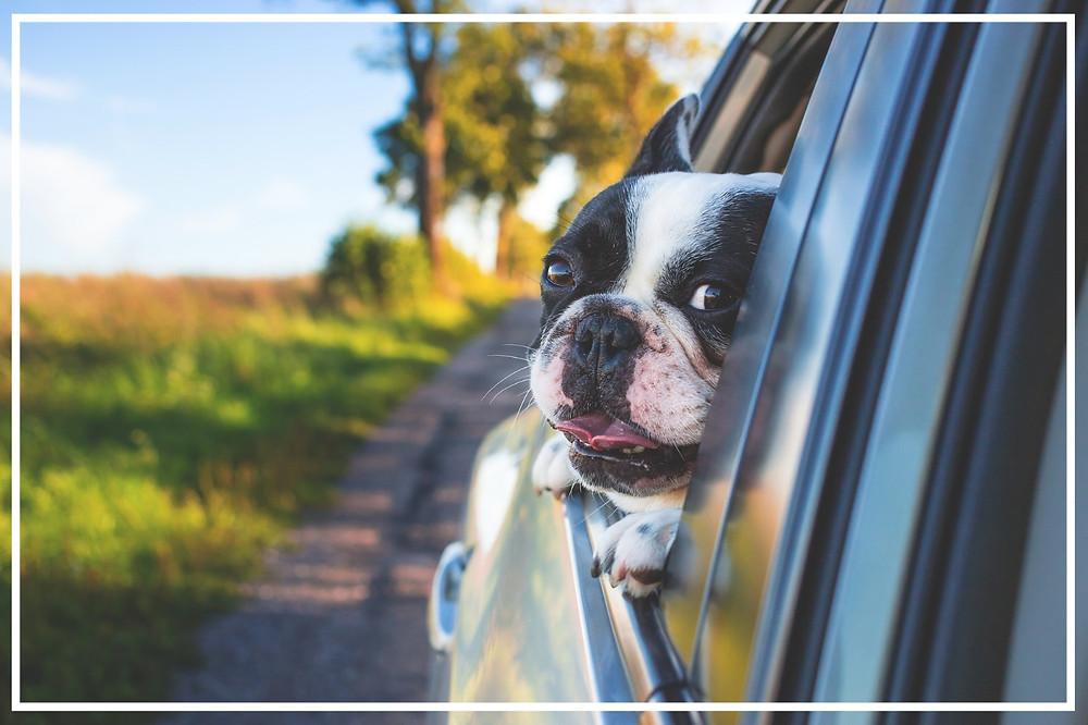 Hund im Auto IV