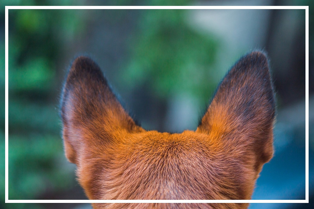 Wie hören Hunde?