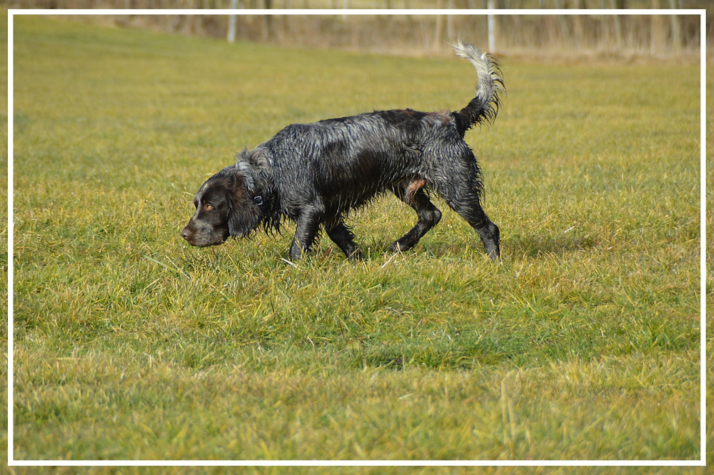 Deutscher Wachtelhund - Jagdhunde-Überblick