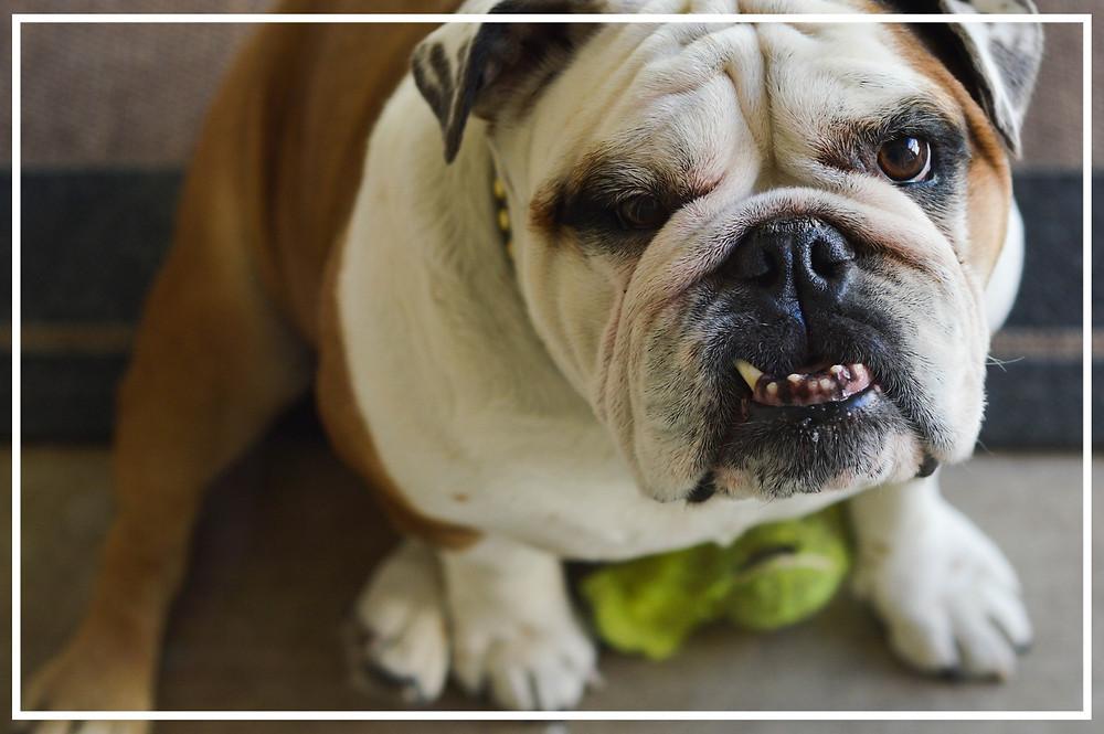 Zahnpflege: Zahnstein beim Hund (2)