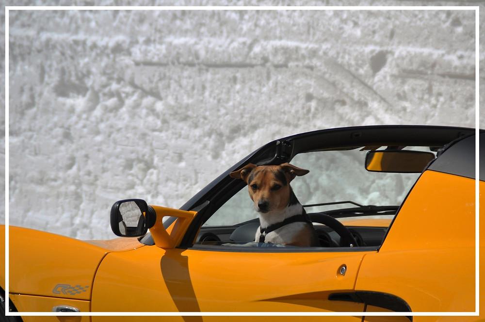 Hund im Auto V