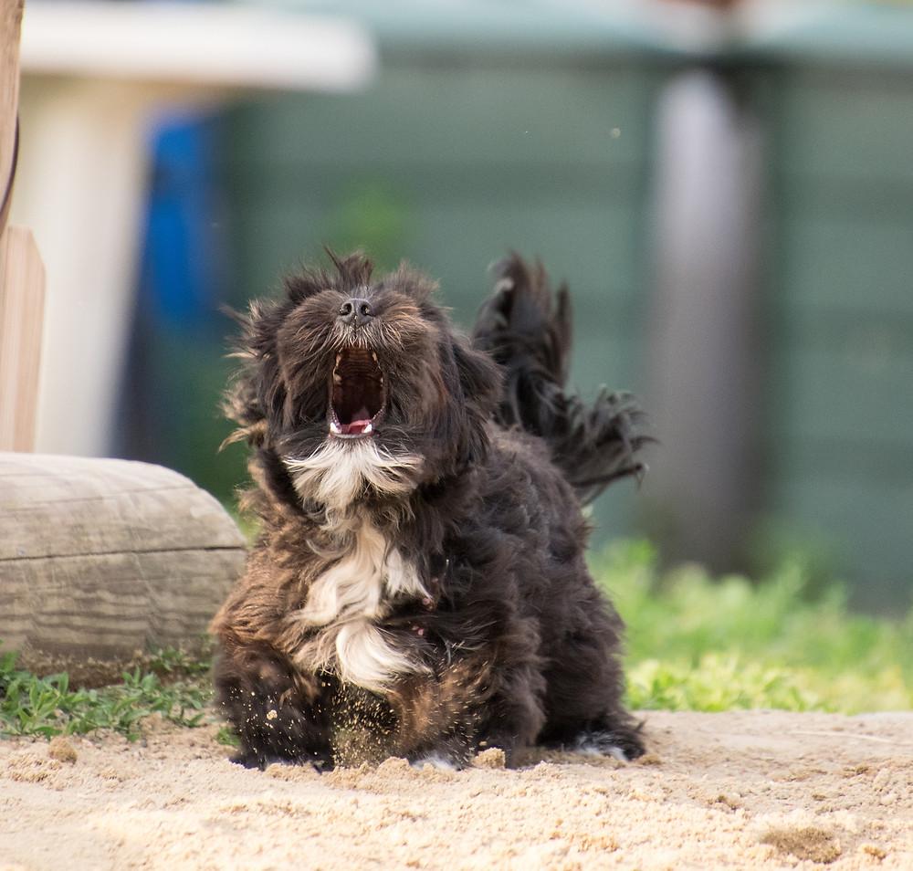 Zwingerhusten_Infektionskrankheiten bei Hunden
