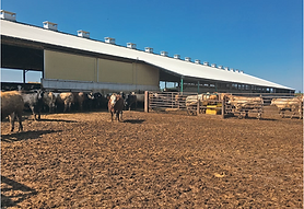 Family thinks big when expanding feedlot