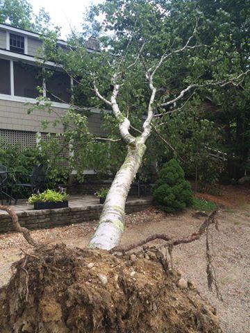 Weak tree roots