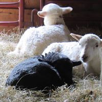 yet+more+lambs.jpg?format=500w.jpg