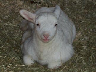Lamb+by+nicki.jpg?format=2500w.jpg