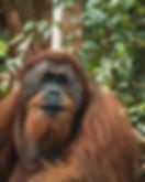 Sumatra Orangutan spotted on a Trek with Sumatra Vibes Trek & Travel