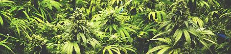 cannabis-banner.jpg