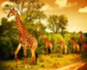 Image of a South African giraffes, big f