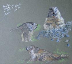 Marmotas apunte
