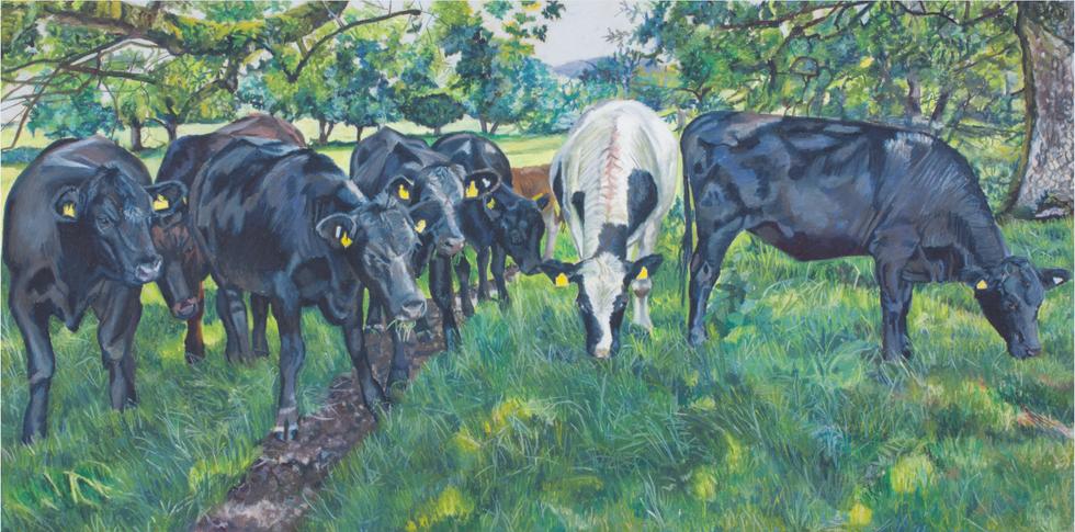 David Ryan's Cattle