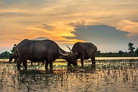 Lao- isan-buffalo-2366587_960_720.jpg