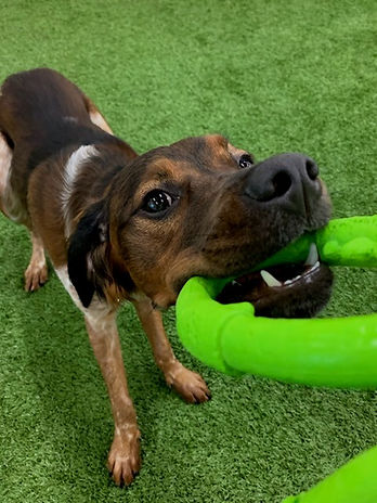 a brown medium sized dog is playing tug-o-war and pulling on a green toy  while playing at a doggie daycare