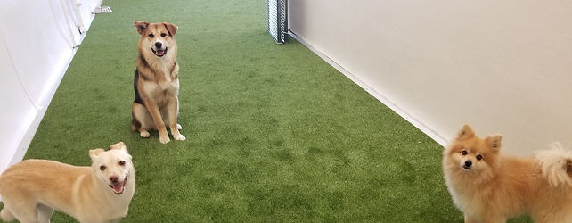 A Pomeranian and two mixed breed dogs on the synthetic grass of a dog daycare facility