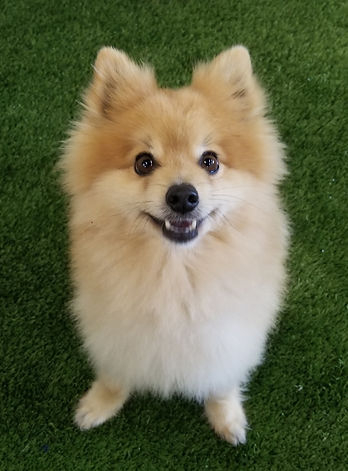 a fluffy pomeranian dog smiling and sitting on a synthetic turf at a daycare in anaheim hills