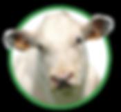 Vleesvee - Voeders Nollet