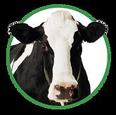 Melkvee - Voeders Nollet