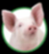 Varkens - Voeders Nollet